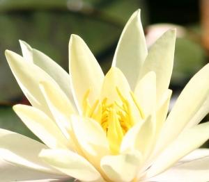 lotus-flower-1431371-m